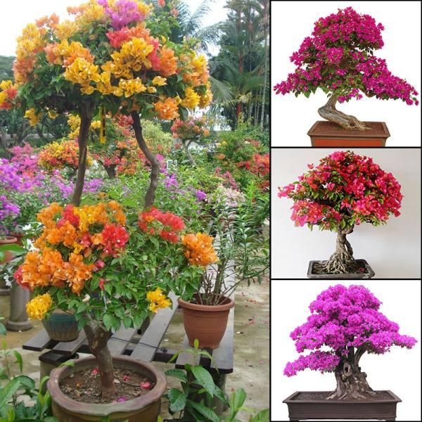Một số cây bonsai hoa giấy