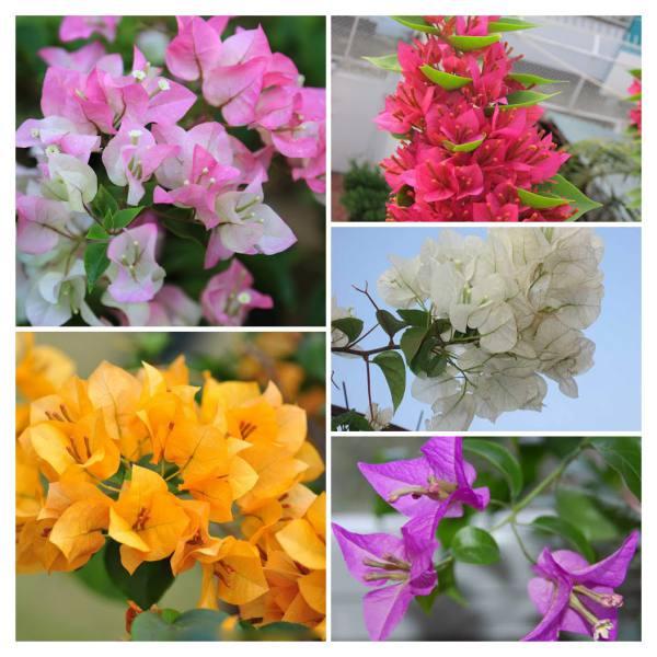 Một số màu hoa giấy phổ biến ở Việt Nam