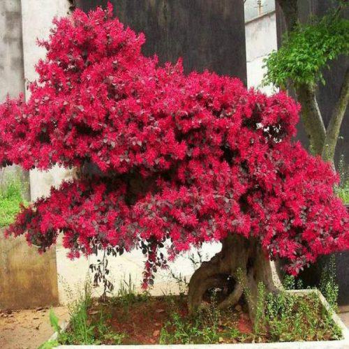 Cây Hồng Phụng
