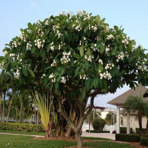 Cây sứ đại hoa trắng