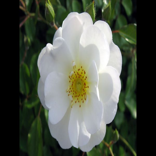 Hoa thủy cúc