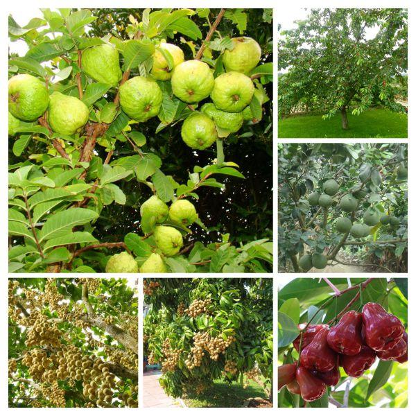 Cây ăn trái sân vườn