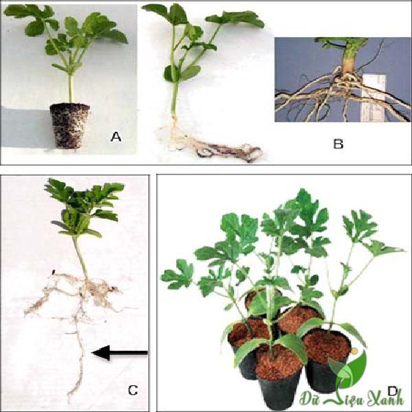 Cách trồng cây dưa hấu
