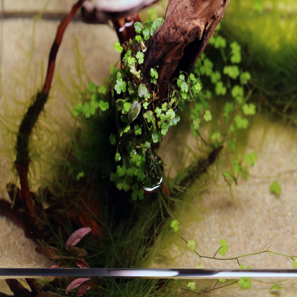 Rau má hương trồng trong nước