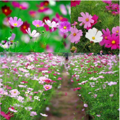 Vườn hoa sao nhái
