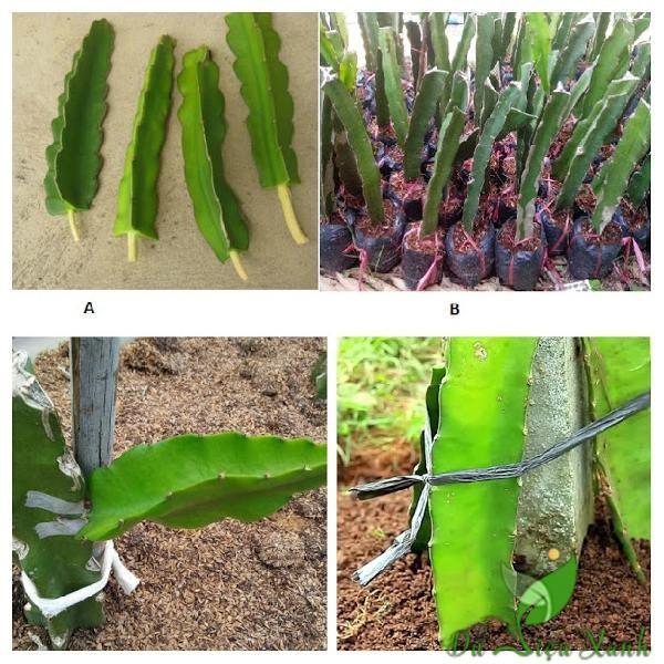 Cách trồng cây thanh long