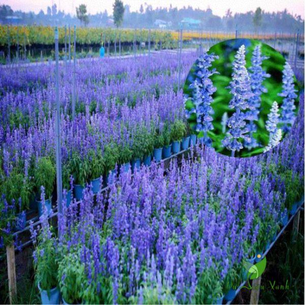 Cây hoa xác pháo xanh