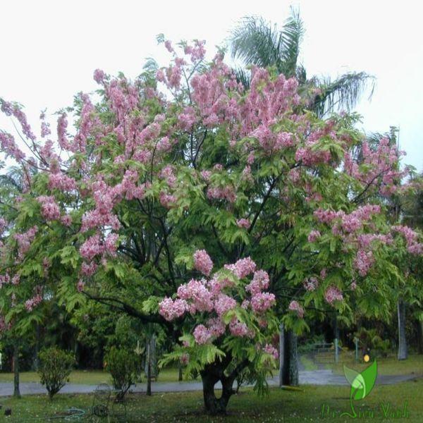 Cây muồng hoa đào đẹp