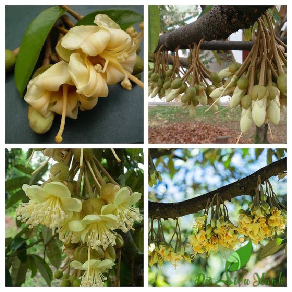Hoa sầu riêng