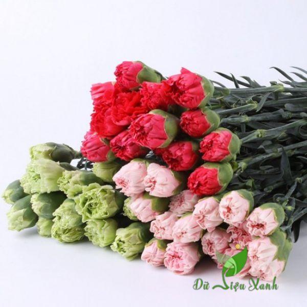 Màu sắc hoa cẩm chướng