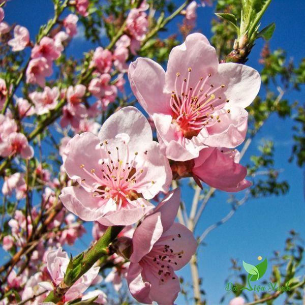 Bông hoa đào