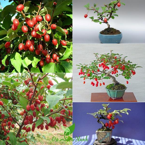 Cây nhót bonsai