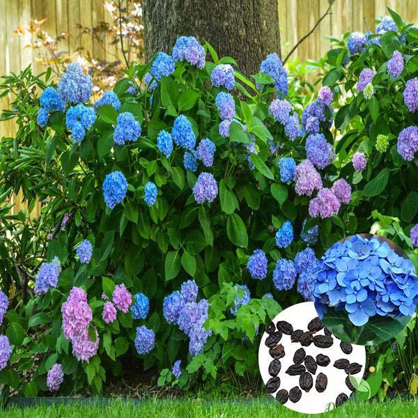 Bụi hoa cẩm tú cầu