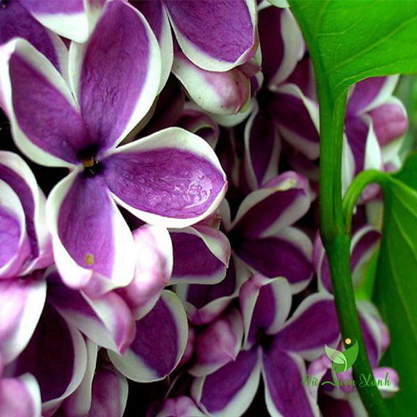Cánh hoa tử đinh lăng