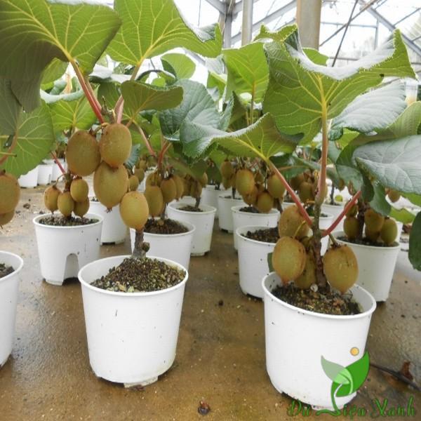 Cây KiWi lùn trồng chậu