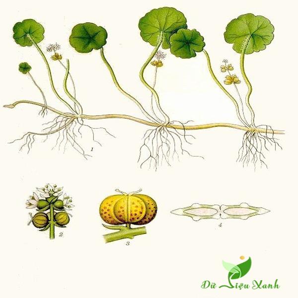 cây Đồng Xu