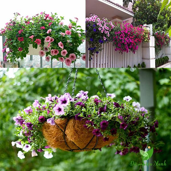 Chậu hoa dạ yến thảo treo
