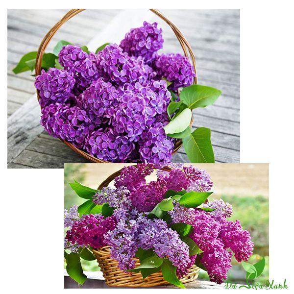 Giỏ hoa đinh lăng