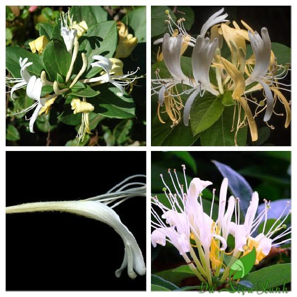 Hoa của cây kim ngân hoa