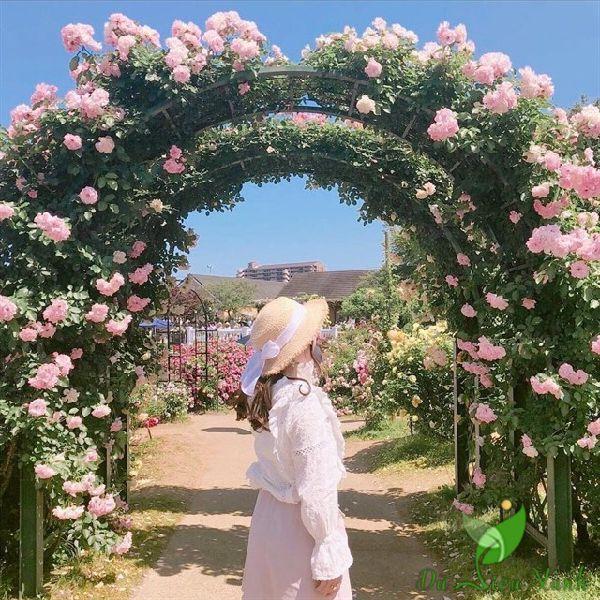 Vòm hoa hồng