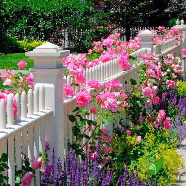 Hàng rào với hoa hồng