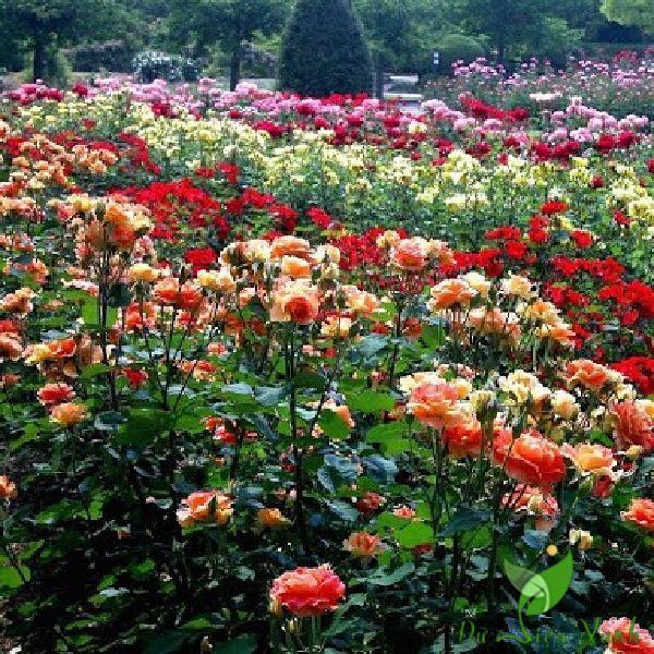 Vườn hoa hồng đầy màu sắc