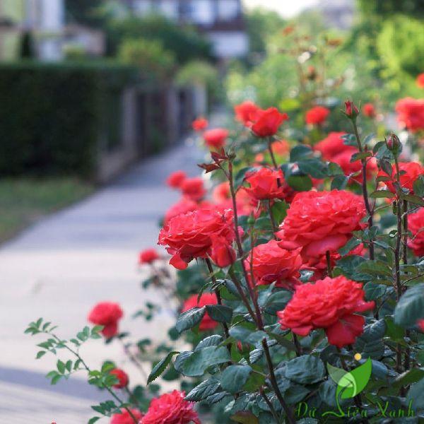 Hoa hồng trồng viền