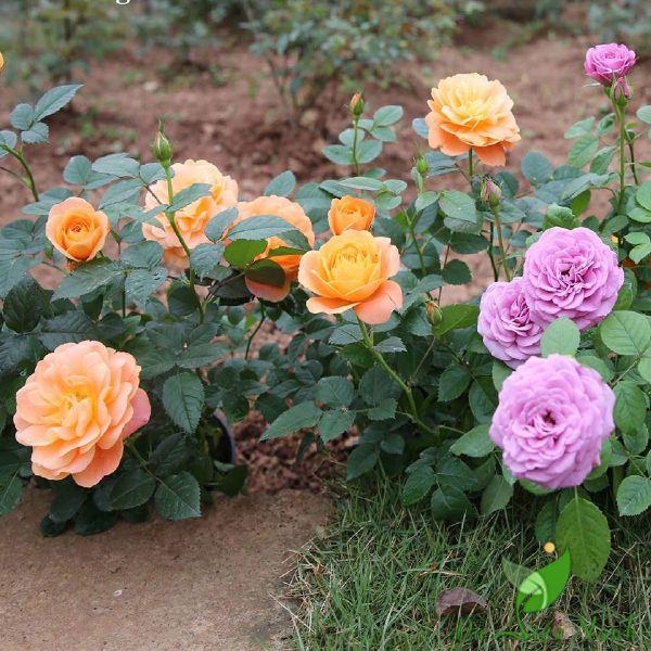 thiết kế sân vườn với hoa hồng