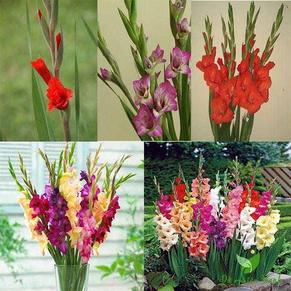 Màu sắc hoa lay ơn