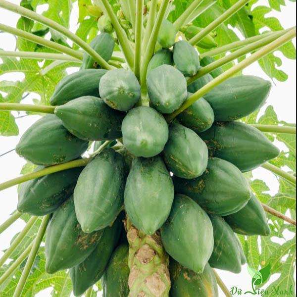 Trái đu đủ mọc cây