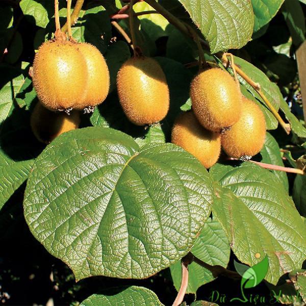 Trái và Lá KiWi