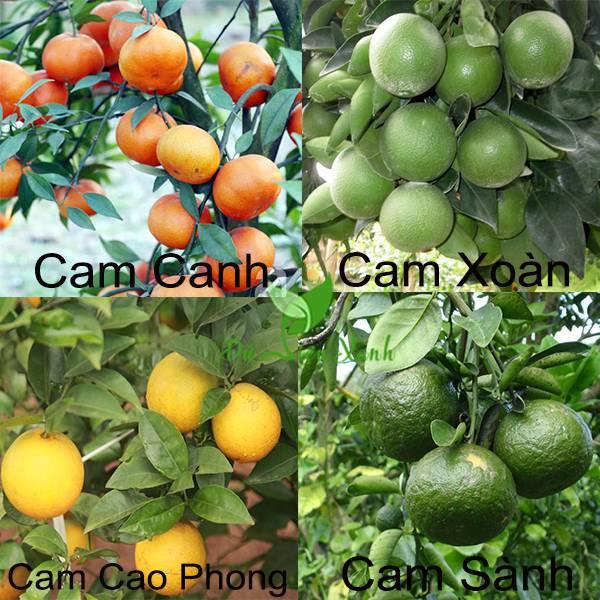 Các loại cam phổ biến hiện nay