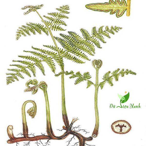 Chi tiết cây dương xỉ