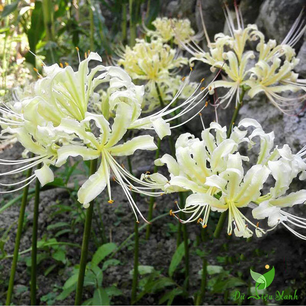 Hoa bỉ ngạn