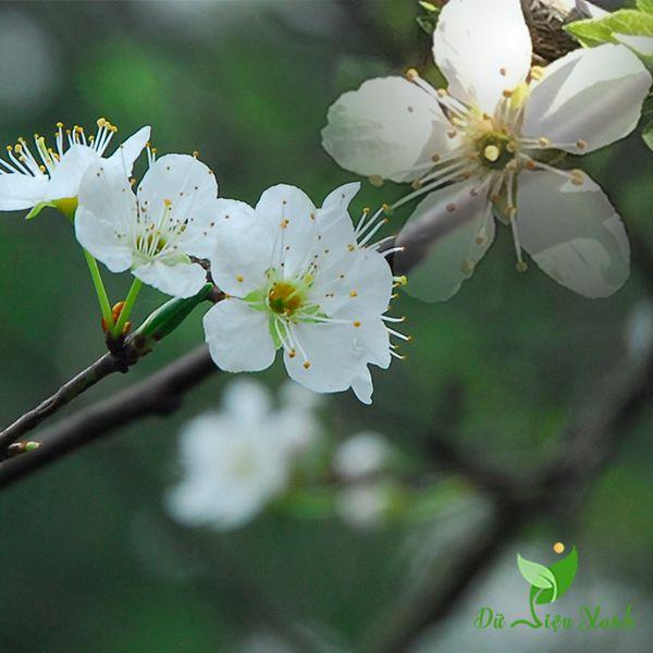 Đặc điểm hoa mận hậu