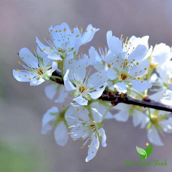 Hoa mận Bắc đẹp