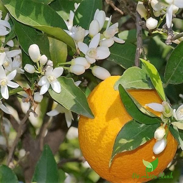 Đặc điểm của cây cam