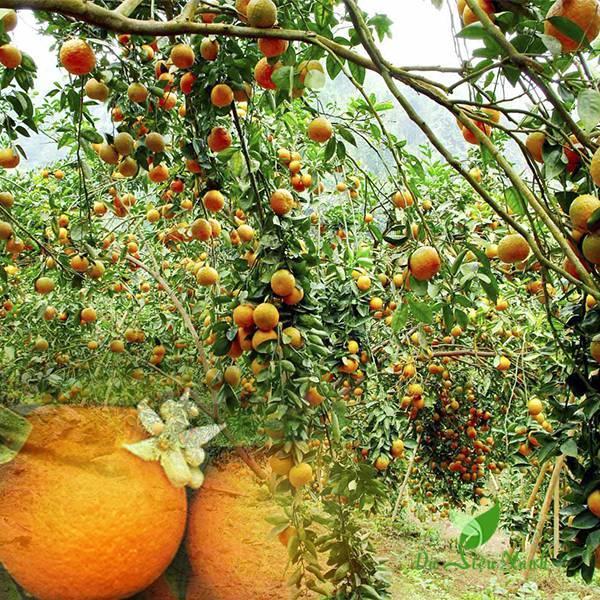 Vườn cây cam