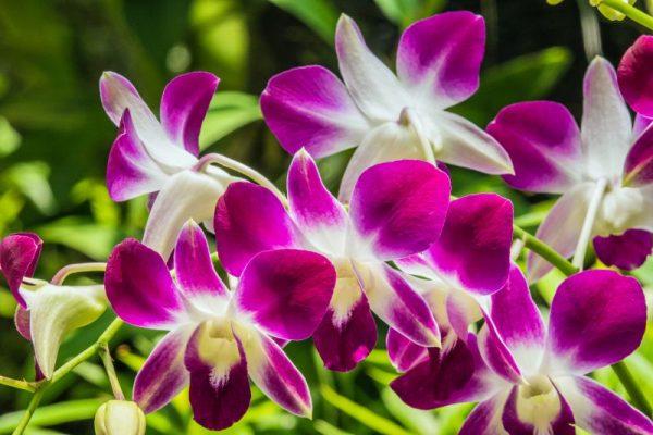 Lan Hoàng thảo Dendrobium Sonia