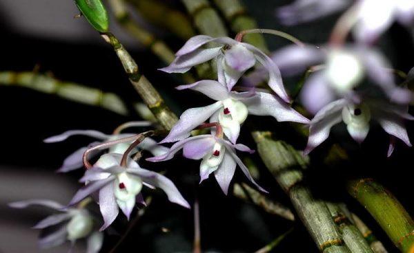 Hoàng thảo hương vani