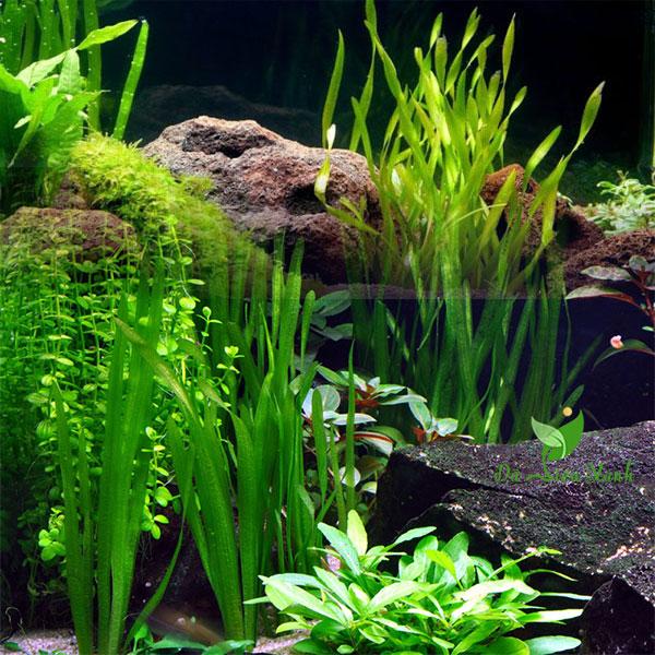 Hẹ xoắn trồng hồ cá