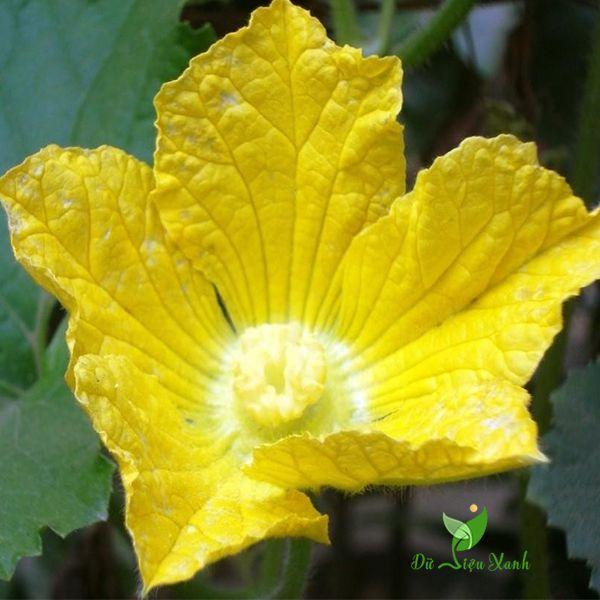 Hoa bí đao đẹp