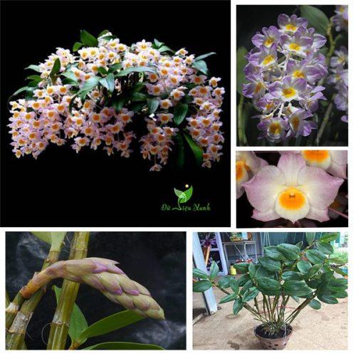 Hoa lan kiều tím rực rỡ