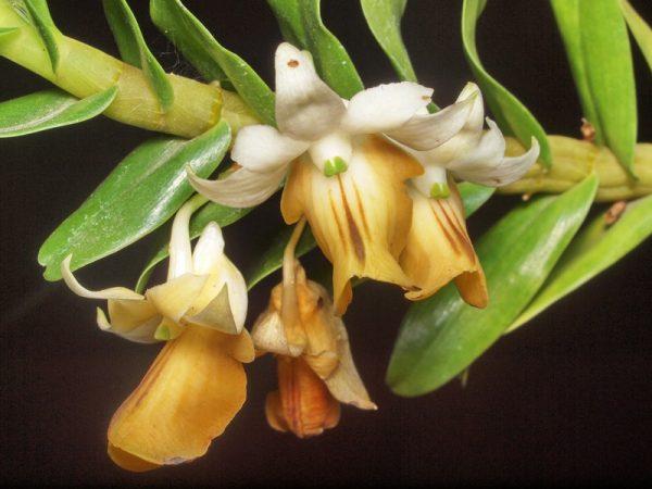 Hoàng thảo hương duyên