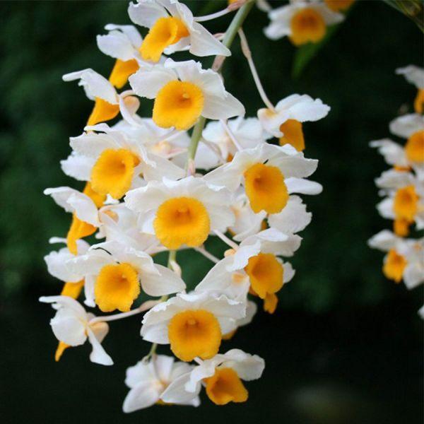 Hoa lan kiều vuông