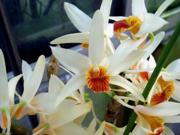 Hoa hoàng thảo lụa vàng