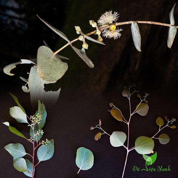 Hoa cây bạch đàn lá tròn