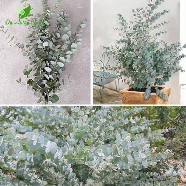 Bụi cây bạch đàn lá tròn
