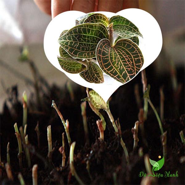 Cách trồng lan kim tuyền