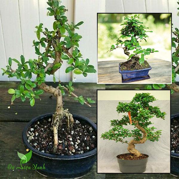 Cây cùm rụm bonsai